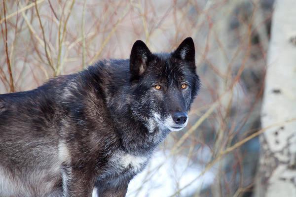 Photograph - El Lobo by Jim Garrison