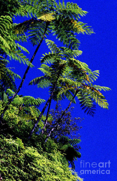 Photograph - El Yunque Tree Ferns by Thomas R Fletcher
