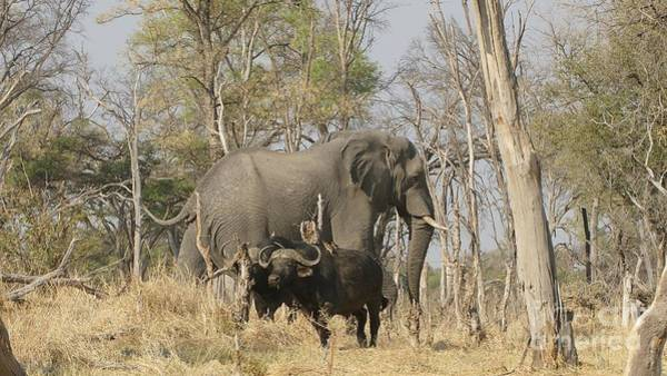Photograph - Elephant And Buffalos by Mareko Marciniak