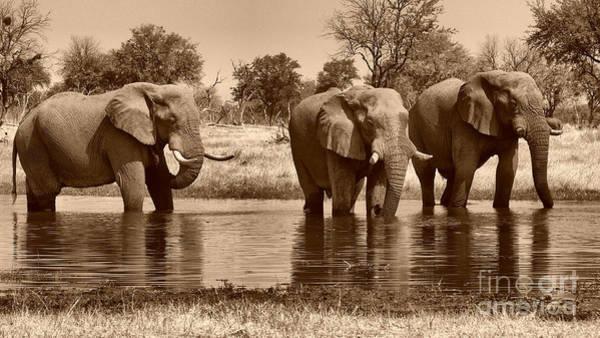 Photograph - Elephant Bulls At Khwai River by Mareko Marciniak