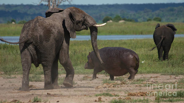 Photograph - Elephant Chasing A Hippo by Mareko Marciniak