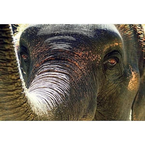 Brown Wall Art - Photograph - Elephant Eye..#travel #thailand by A Rey