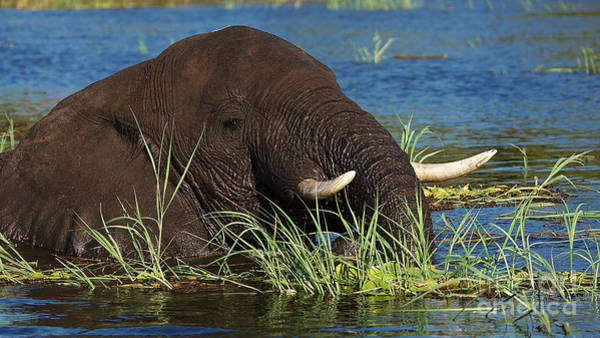 Photograph - Elephant On The Floodplains by Mareko Marciniak