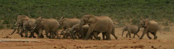 Wall Art - Photograph - Elephant Parade by Bruce J Robinson