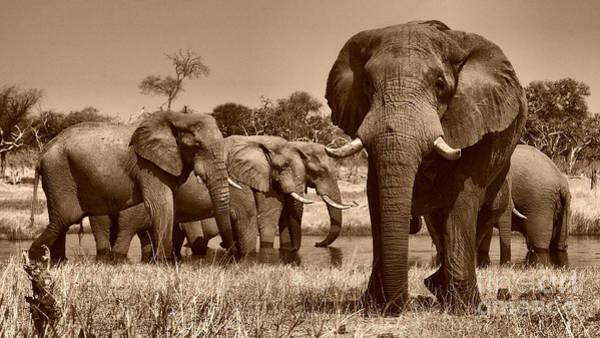 Photograph - Elephants At Khwai River by Mareko Marciniak