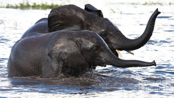 Photograph - Elephants Crossing The River 2 by Mareko Marciniak