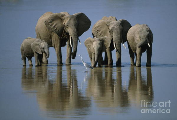 Herbivorous Photograph - Elephants by Jonathan and Angela Scott and Photo Researchers