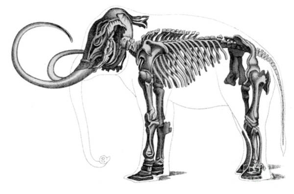 Wall Art - Photograph - Elephas, Extant Cenozoic Mammal by Science Source