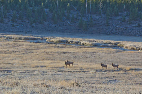 Elk Herd Photograph - Elk In The Morning by Twenty Two North Photography