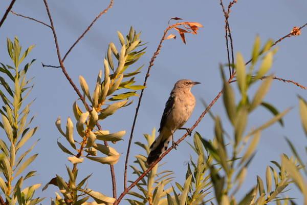 Photograph - Mocking Bird1 by Rima Biswas