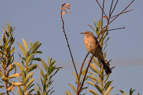 Photograph - Mocking Bird2 by Rima Biswas