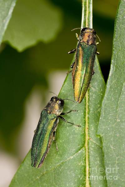 Photograph - Emerald Ash Borer by Science Source