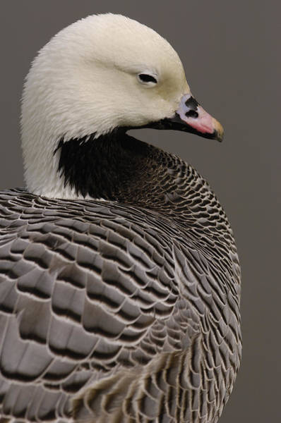 Wall Art - Photograph - Emperor Goose Anser Canagicus by Pete Oxford