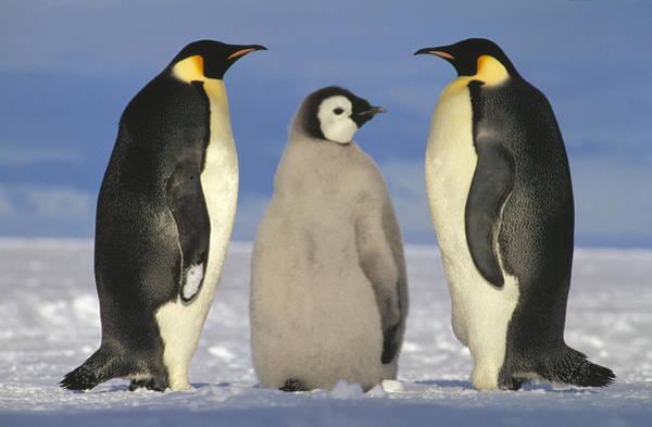 Photograph - Emperor Penguin Aptenodytes Forsteri by Tui De Roy
