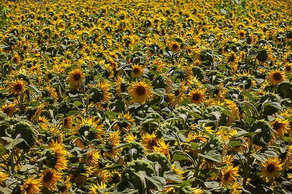 Wall Art - Photograph - Endless Sunflowers by Garry Gay