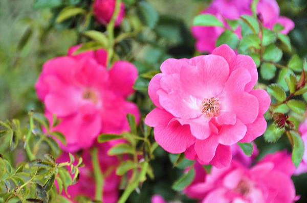 Wall Art - Photograph - English Garden Roses by Jan Amiss Photography