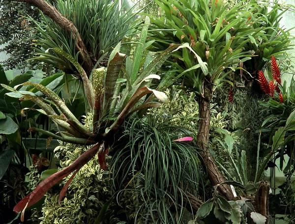 Bromelia Photograph - Epiphytic Bromelia by Vaughan Fleming