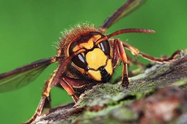 European Hornet Photograph - European Hornet by Colin Varndell