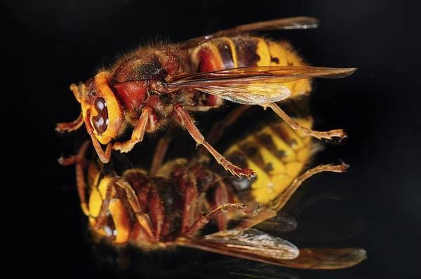 European Hornet Photograph - European Hornet On A Mirror by Colin Varndell