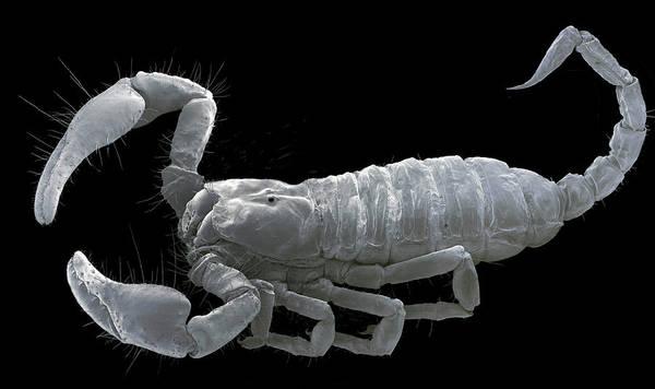 Chela Wall Art - Photograph - European Scorpion by Steve Gschmeissner