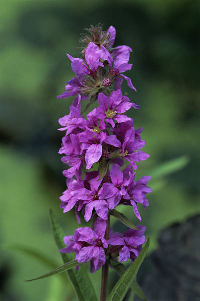 Lythrum Photograph - European Wand Loosestrife Flowers by Adrian Thomas
