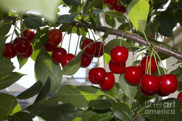 Photograph - Evans Sour Cherries by Donna L Munro