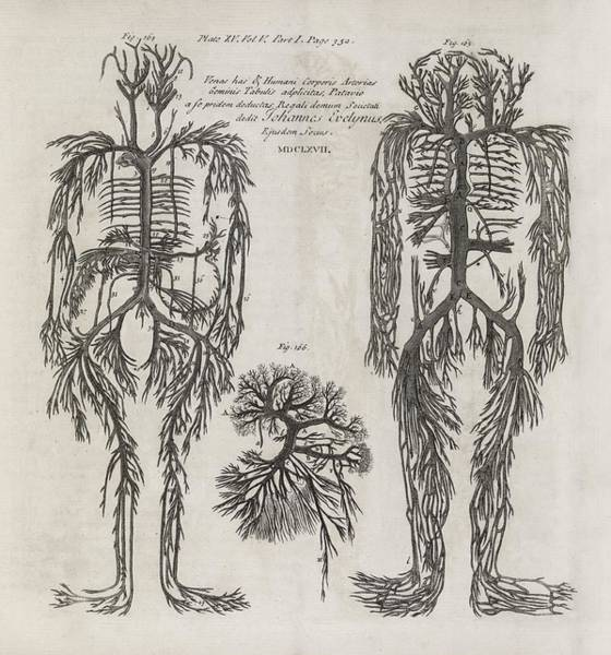 Tissue Paper Photograph - Evelyn Table Blood Vessels, 17th Century by Middle Temple Library