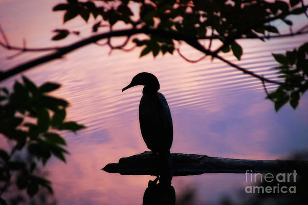 Phalacrocoracidae Photograph - Evening Cormorant Two by Susan Isakson