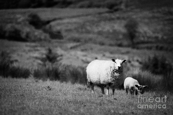 Wall Art - Photograph - Ewe Lamb Irish Sheep In A Field In Rural Ireland by Joe Fox