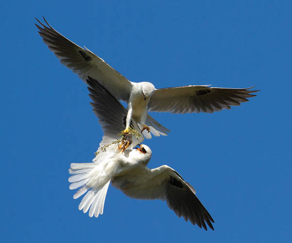 White-tailed Kite Photograph - Exchange Food 2 by Jimmy Huynh