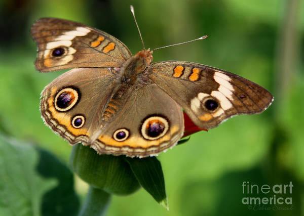 Buckeye Butterfly Wall Art - Photograph - Eyes Of Beauty by Debra Straub