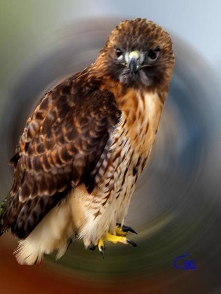 Photograph - Falco 2 Tinnunculus Vf by Colette V Hera  Guggenheim