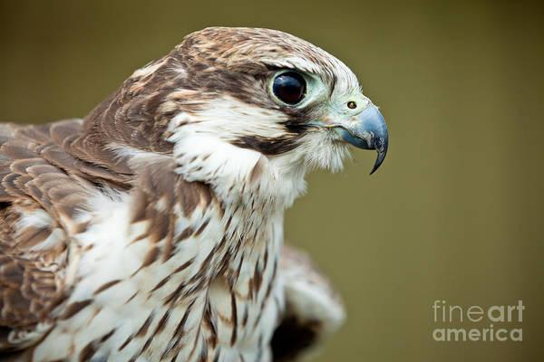 Peregrine Photograph - Falcon Close Up by Simon Bratt Photography LRPS