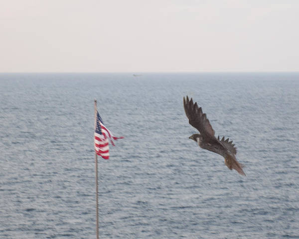 Wall Art - Photograph - Falcon In Flight by Bill Perry