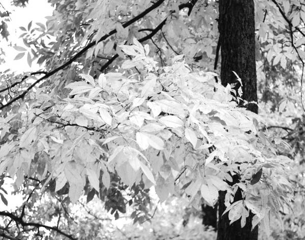 Photograph - Fall Leaves In Black And White by Maggy Marsh