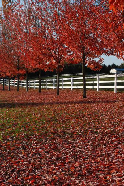 Photograph - Fall Oak Reds by Jan Piet