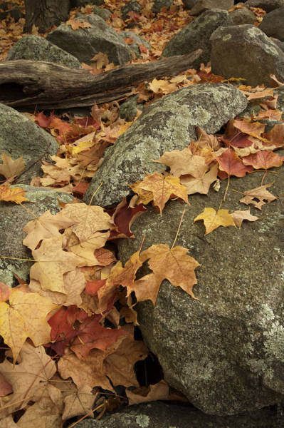 Acer Saccharum Photograph - Fallen Autumn Sugar Maple Leaves by Tim Laman