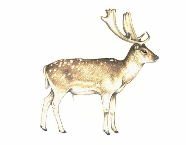 Dama Dama Photograph - Fallow Deer, Artwork by Lizzie Harper
