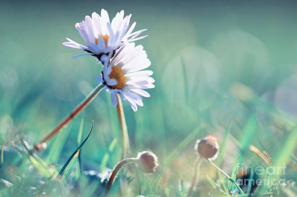 Umwelt Photograph - Family Of Daisy  by Tanja Riedel