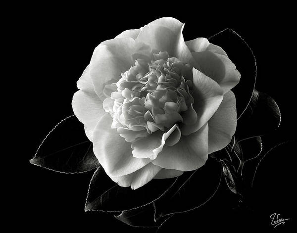 Photograph - Fancy Camellia In Black And White by Endre Balogh