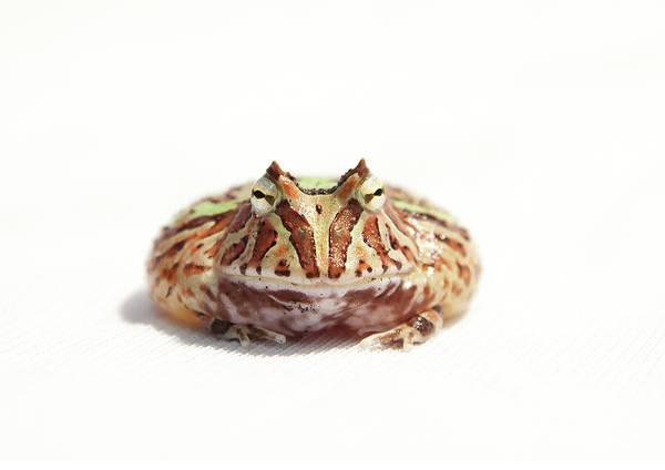 Horizontal Stripes Photograph - Fantasy Horned Frog by Www.tommaddick.co.uk
