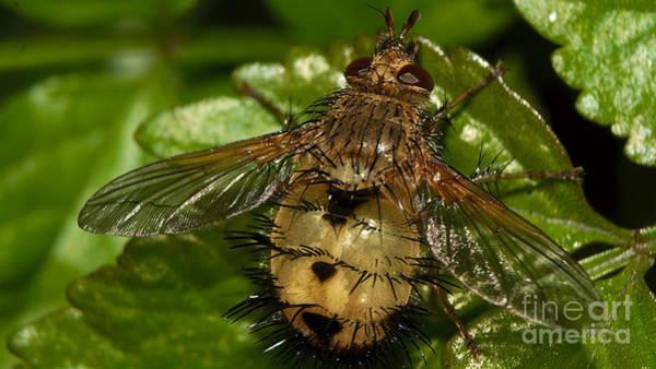 Photograph - Fat Fly by Mareko Marciniak