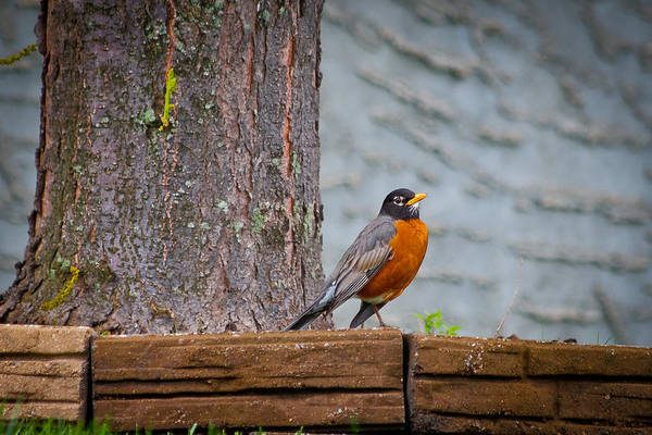 Photograph - Fat Robin by Keith Allen