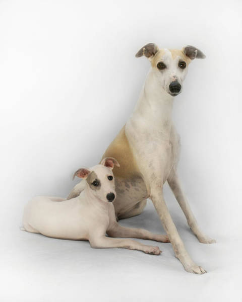 Photograph - Father And Son Whippets by John Clum