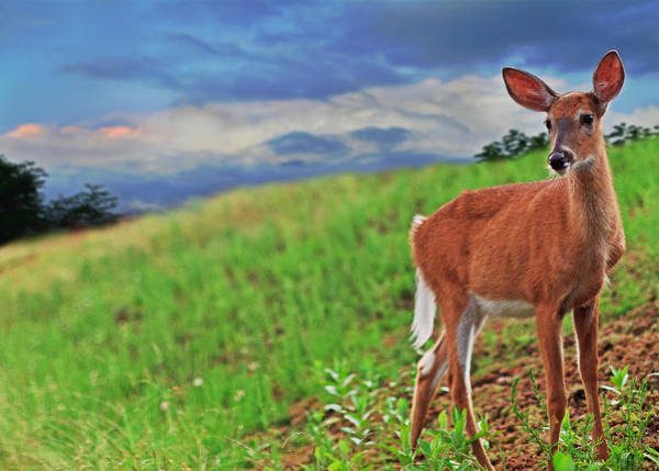 White Tailed Deer Photograph - Fawn by Everet Regal