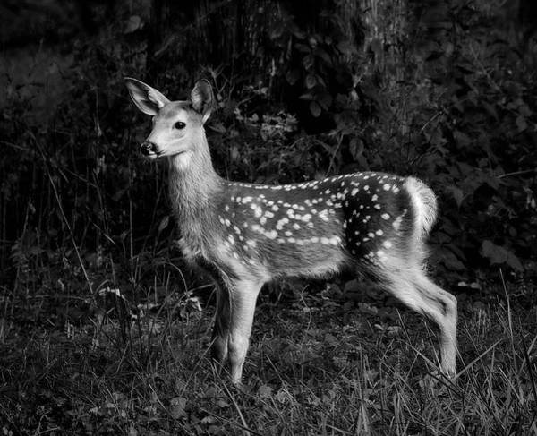 Photograph - Fawn by Mark Fuller
