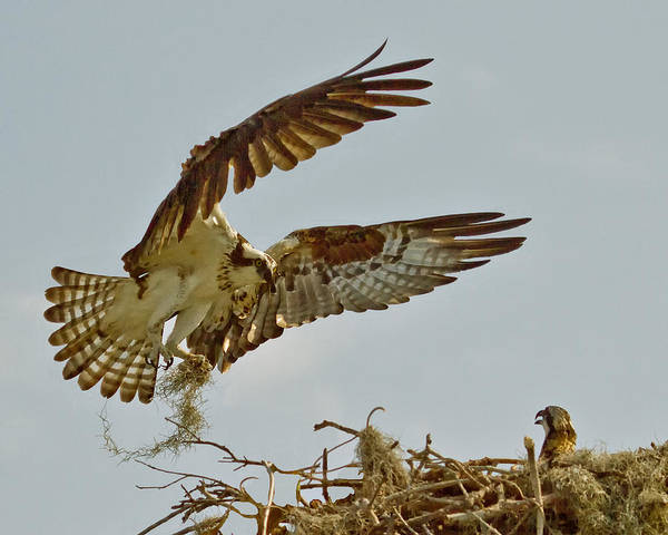 Photograph - Feathering The Nest by Larry Linton