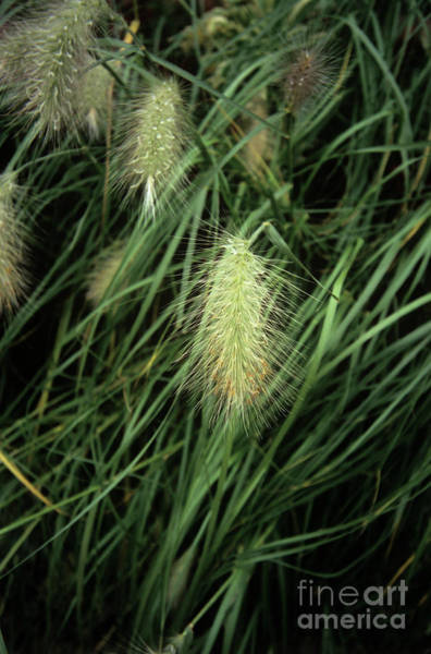Pennisetum Photograph - Feathertop Grass (pennisetum Villosum) by Adrian Thomas