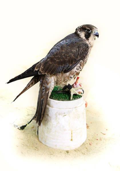 Photograph - Feeding Falcon by Paul Cowan