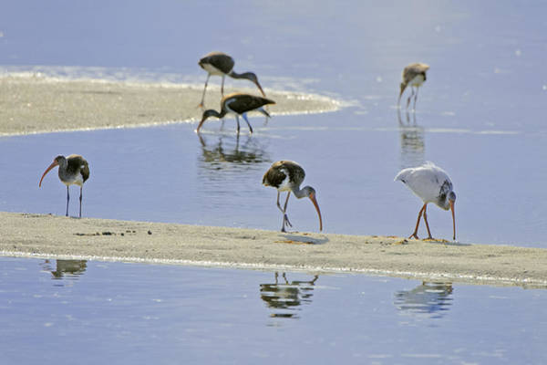Photograph - Feeding Ibis by Patrick M Lynch